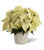 White Poinsettia Basket (Small)